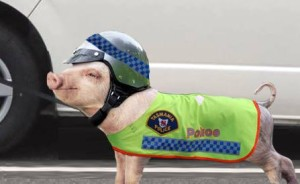 sniffer pigs by Tasmania Police