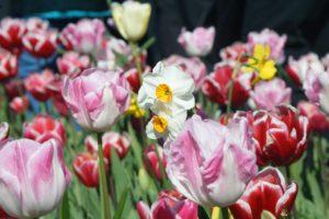 #Floriade2016 spring celebration at CanberraDSC09066