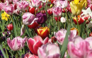 #Floriade2016 spring celebration at CanberraDSC09073