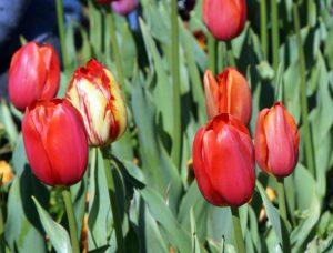 #Floriade2016 spring celebration at CanberraDSC09097
