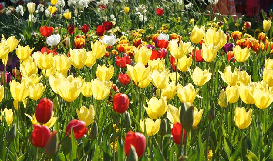 #Floriade2016 spring celebration at CanberraDSC09123