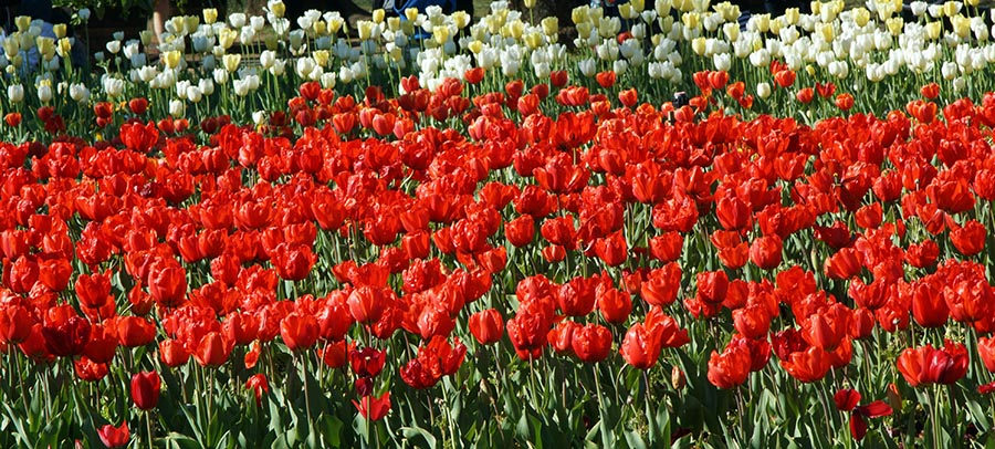 #Floriade2016 spring celebration at CanberraDSC09253