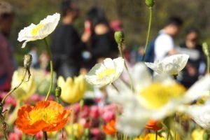 #Floriade2016 spring celebration at CanberraDSC09265