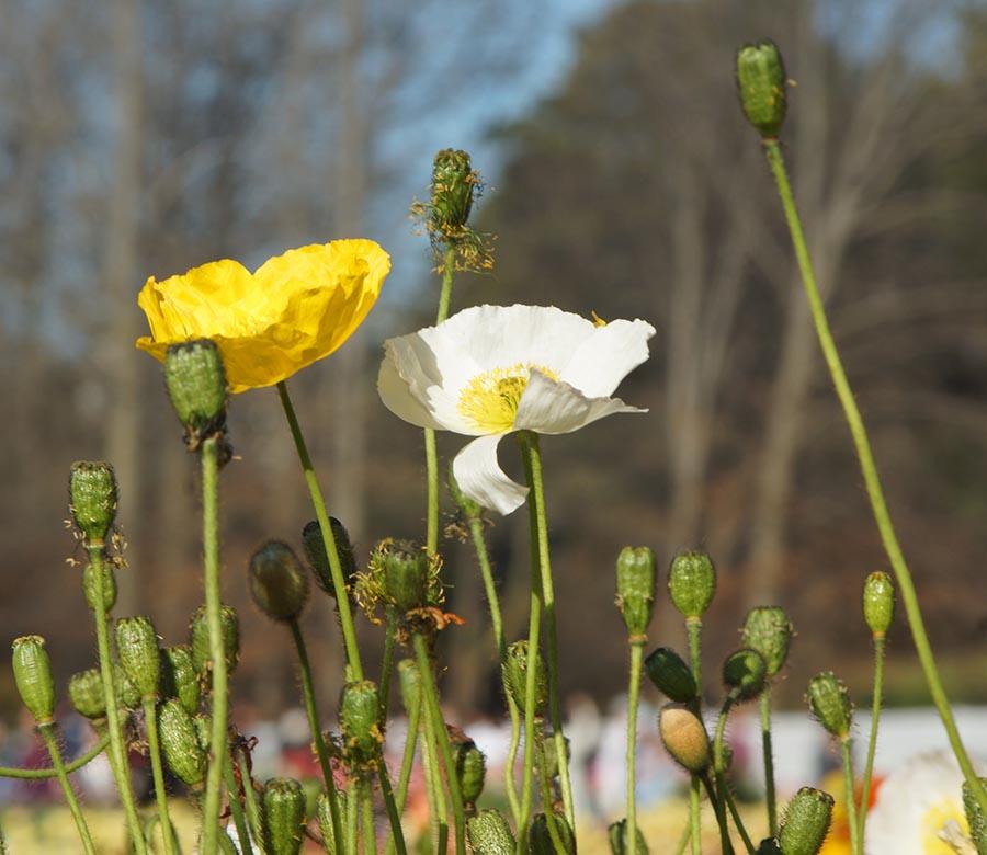 #Floriade2016 spring celebration at CanberraDSC09267
